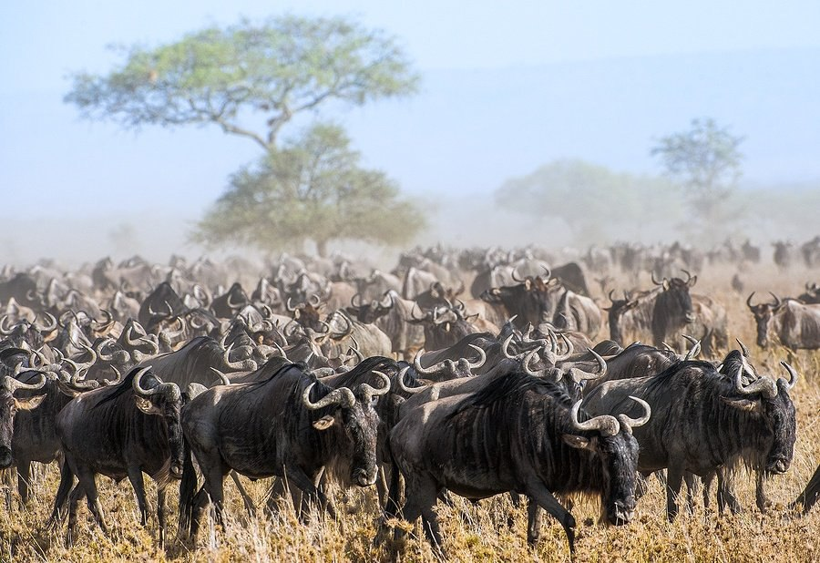 bigstock-Wildebeest-Migration-The-Herd-129569891